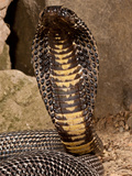Black Pakistan Cobra, Naja Naja Karachiensis, Native to Pakistan Photographic Print by David Northcott