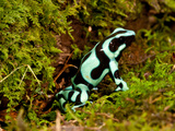 Auratus Dart Frog Dendrobates Auratus Native to Northern South America Photographic Print by David Northcott