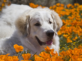 A Great Pyrenees Lying in a Field of Wild Poppy Flowers at Antelope Valley, California, USA Photographic Print by Zandria Muench Beraldo