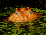 Brazilian Horn Frog, Ceratophrys Cornutus, Native to Eastern South America Photographic Print by David Northcott