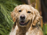 Portrait of a Golden Retriever Sitting and Smiling Photographic Print by Zandria Muench Beraldo