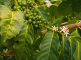 Greenwell Kona Coffee Farm, Big Island, Hawaii, USA Photographic Print by Inger Hogstrom