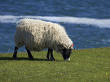 Sheep, England, United Kingdom Photographic Print by David Wall
