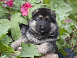 German Shepherd Puppy Peeking Out of a Garden Bush Photographic Print by Zandria Muench Beraldo
