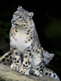 Snow Leopard, Uncia Uncia, Panthera Uncia, Nepal Photographic Print by Andres Morya Hinojosa