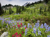 Wildflowers on Meadows, Mount Rainier National Park, Washington, USA Photographic Print by Tom Norring