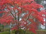 A Maple Tree at the Portland Japanese Garden, Oregon, USA Fotografiskt tryck av William Sutton