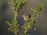 Long-Billed Thrasher, Santa Clara Ranch, Texas, USA Photographic Print by Dave Welling