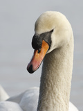 Mute Swan, Vancouver, British Columbia, Canada Photographic Print by Rick A. Brown