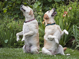 Two Yellow Labrador Retrievers Sitting Up in a Garden Photographic Print by Zandria Muench Beraldo