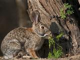 Desert Cottontail Rabbit, Santa Clara Ranch, Texas, USA Photographic Print by Dave Welling
