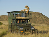 Bengal Tiger Searching for Prey Atop Safari Vehicle at Tiger Canyons, South Africa Photographic Print by Jan & Stoney Edwards