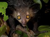 Aye-Aye, (Daubentonia Madagascariensis), Eastern Madagascar Photographic Print by Andres Morya Hinojosa