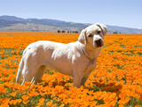 Labrador Retriever Standing in a Field of Poppies in Antelope Valley, California, USA Photographic Print by Zandria Muench Beraldo