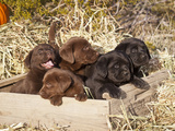 Five Labrador Retriever Puppies in a Wooden Crate Surrounded by Hay Photographic Print by Zandria Muench Beraldo