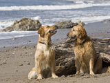 Two Golden Retrievers Sitting Together on a Beach in California, USA Photographic Print by Zandria Muench Beraldo