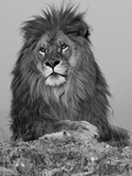 African Lion, Bozeman, Montana, USA Photographic Print by Joe &amp; Mary Ann McDonald