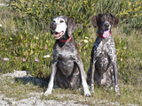 Two German Shorthaired Pointers Sitting Together in the Sand Surrounded by Ice Plants Photographic Print by Zandria Muench Beraldo