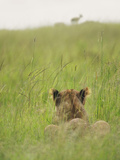 Lion Hiding in the Grass Waiting to Pounce on Topi, Maasai Mara National Reserve, Kenya Photographic Print by Keren Su