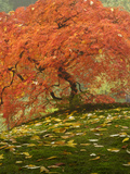 Japanese Maple at the Portland Japanese Garden, Oregon, USA Fotografiskt tryck av William Sutton
