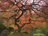 Japanese Maple, Portland Japanese Garden, Oregon, USA Photographic Print by William Sutton