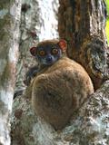 Eastern Woolly Lemur (Avahi Laniger), Madagascar Photographic Print by Andres Morya Hinojosa
