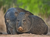 Wild Javelinas, Santa Clara Ranch, Texas, USA Photographic Print by Dave Welling