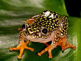 Starry Night Reed Frog, Heterixalus Alboguttatus, Native to Madagascar Photographic Print by David Northcott