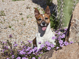A Jack Russell Terrier Sitting Behind Some Purple Flowers in Desert Garden Photographic Print by Zandria Muench Beraldo
