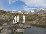 Penguins, Nigu River, Alaska, USA Photographic Print by Hugh Rose