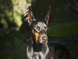 A Doberman Pinscher Standing in a Sunny Spot Very Intent on Something, California, USA Photographic Print by Zandria Muench Beraldo