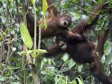 Orangutan, Sepilok, Borneo, Malaysia Photographic Print by Anthony Asael