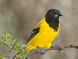 Audubon's Oriole, Santa Clara Ranch, Texas, USA Photographic Print by Dave Welling