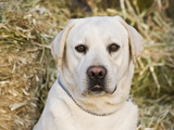 Portrait of a Yellow Labrador Retriever Against Hay Bales Photographic Print by Zandria Muench Beraldo