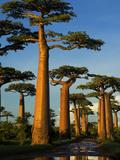 Baobab (Adansonia Grandidieri), Near Morondava, Madagascar Fotografisk tryk af Andres Morya Hinojosa