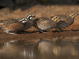 Northern Bobwhites, Santa Clara Ranch, Texas, USA Photographie par Dave Welling