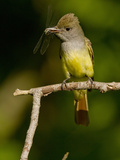 Great Crested Flycatcher, Pennsylvania, USA Papier Photo par Joe & Mary Ann McDonald