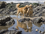 Two Golden Retrievers Playing with a Stick Next to a Tidal Pool at a Beach Photographic Print by Zandria Muench Beraldo