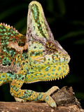 Veiled Chameleon, Chamaeleo Calyptratus, Native to Yemen Photographic Print by David Northcott
