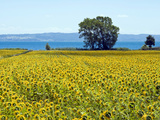 Field of Sunflowers, Lake of Bolsena, Bolsena, Viterbo Province, Latium, Italy Photographic Print by Nico Tondini