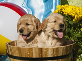 Two Golden Retriever Puppies Sitting in a Wooden Pail with a Beach Ball and Yellow Flowers Photographic Print by Zandria Muench Beraldo