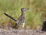 Greater Roadrunner, Texas, USA Photographic Print by Larry Ditto