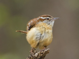 Carolina Wren, Santa Clara Ranch, Texas, USA Photographic Print by Dave Welling