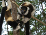 Lemur, Madagascar Photographic Print by Andres Morya Hinojosa