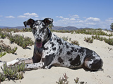 A Great Dane Lying in the Sand in Ventura, California, USA Photographic Print by Zandria Muench Beraldo
