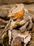 Bearded Dragon, Pogona Vitticeps, Native to Australia Photographic Print by David Northcott