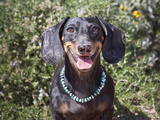 A Dachshund Smiling with Turquoise Collar On, California, USA Photographic Print by Zandria Muench Beraldo
