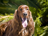 An Irish Setter Lying Surrounded by Greenery, California, USA Photographic Print by Zandria Muench Beraldo