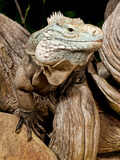 Cayman Island Iguana, Cyclura Lewisi, Cayman Islands Photographic Print by David Northcott