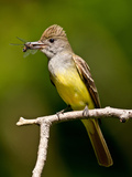 Great Crested Flycatcher Myiarchus Crinitus Central Pennsylvania Papier Photo par David Northcott